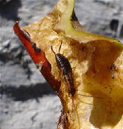 Ongewenste Dieren Oorworm